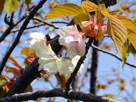 鬱金という桜