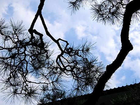 松の枝と夏空