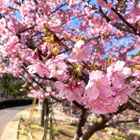 なぎさ公園の河津桜