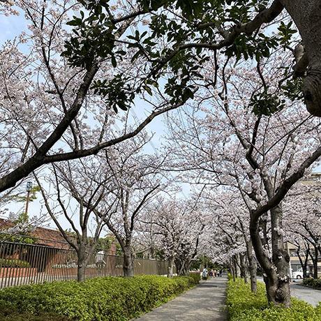 フラワーガーデンの桜