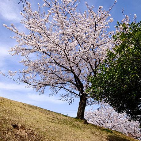 新左近川の桜と青空